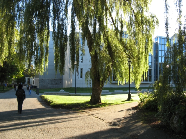 Weeping Willow at UBC